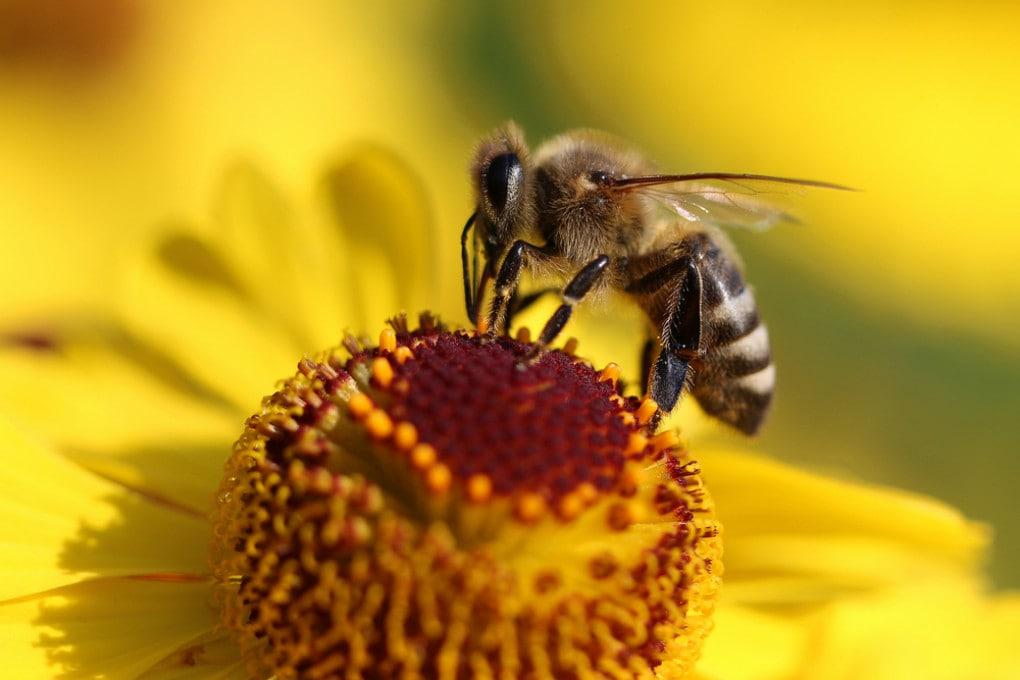 L'ottima memoria delle api compenserà la nostra incapacità di proteggerle?