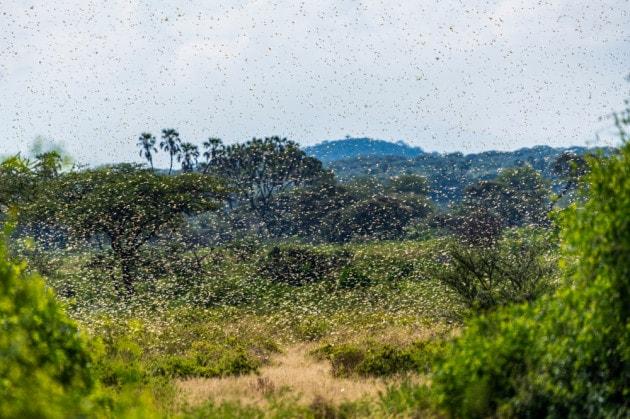 Locuste