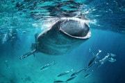 La grandezza delle femmine (di squalo balena)