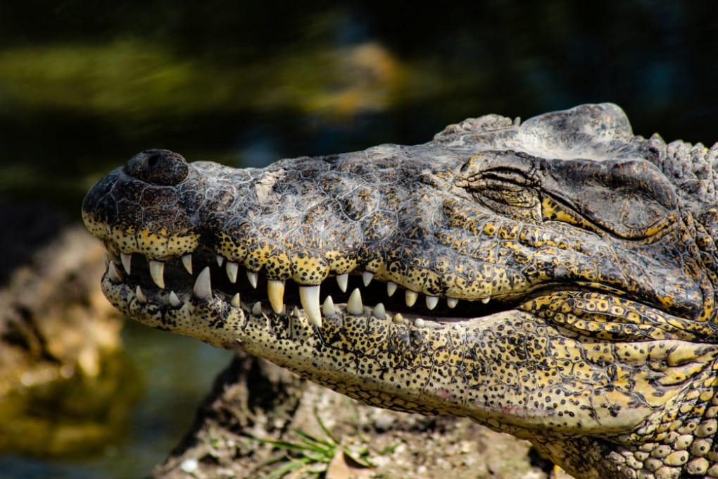 Ig Nobel 2020: le risate sotto il sole di un alligatore.