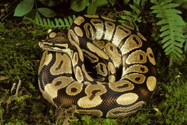 Un pitone reale (Python regius).
