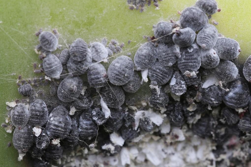 Esemplari di cocciniglia del carminio (Dactylopius coccus), insetti utilizzati per tingere di rosso cibi e bevande.