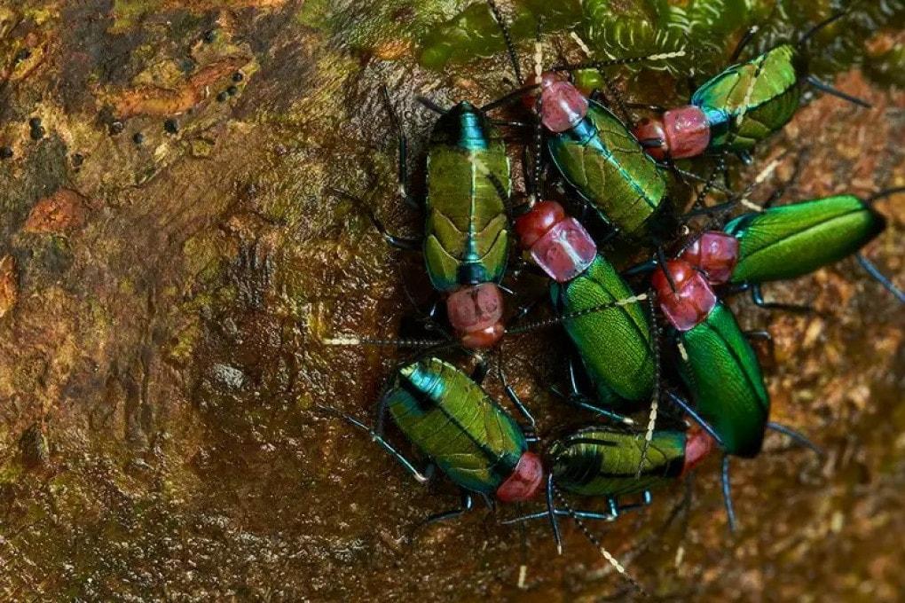 Esemplari di Melyroidea magnifica, rara specie di scarafaggi che vive in colonie.