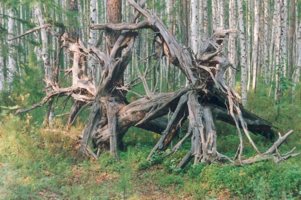 Un aggrovigliato monumento naturale ricorda l'evento, nella regione del fiume Tunguska, in Siberia.