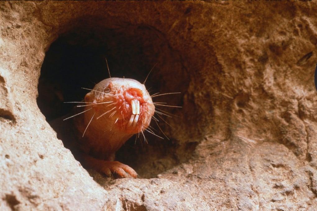 Eterocefalo glabro: se non è l'animale più brutto del mondo poco ci manca.