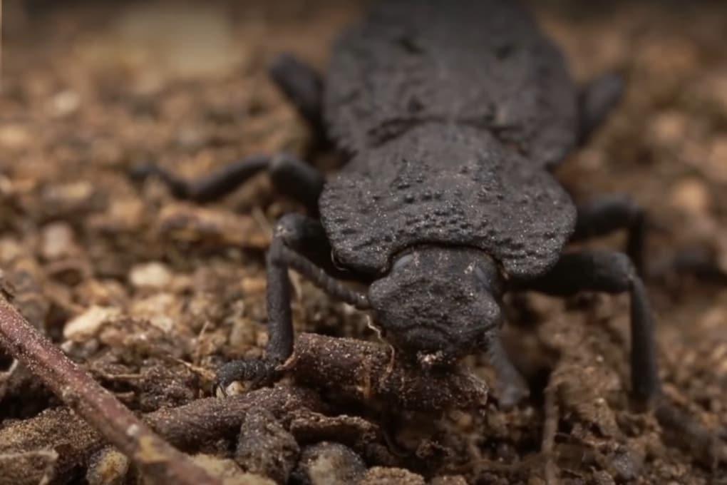 Uno scarabeo corazzato (Nosoderma diabolicum).