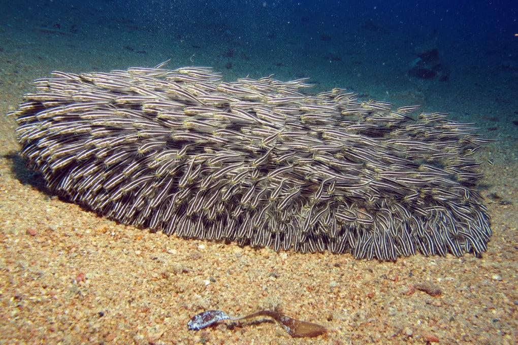 Un banco di pesci gatto dei coralli (Plotosus lineatus).