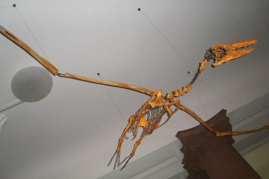 Uno scheletro di Pelagornis chilensis al Senckenberg Museum di Francoforte.