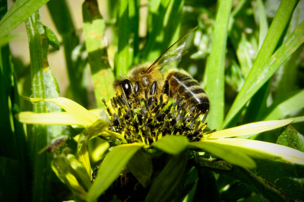 Un'ape (diurna) australiana.