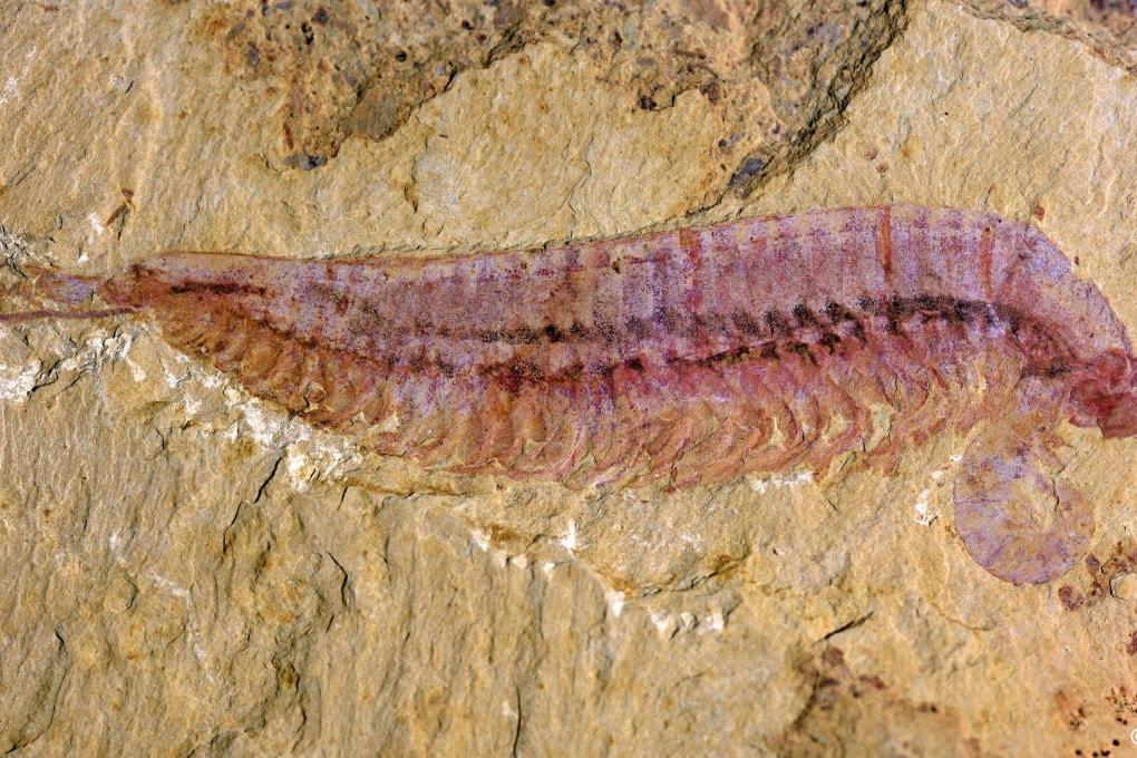 Un fossile di Kylinxia zhangi, un artropode con una storia importante da raccontare.