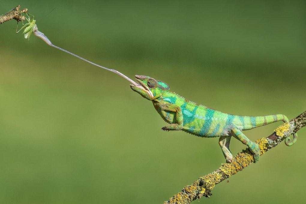 La lingua a catapulta di un camaleonte. Questo strumento di caccia, che potrebbe retrodatare i camaleonti stessi, non è esclusivo dei rettili.