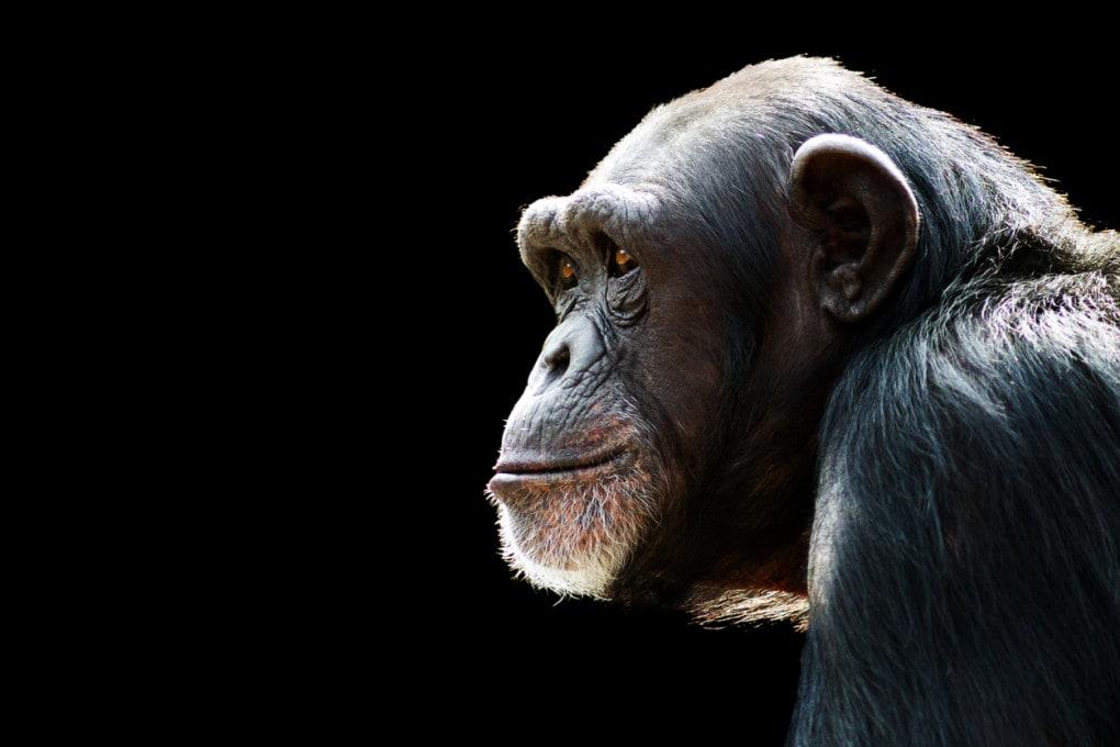 La classifica delle scimmie intelligenti
