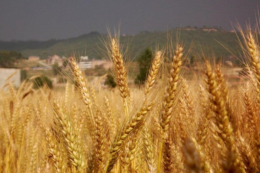 Un campo di grano in Nepal.