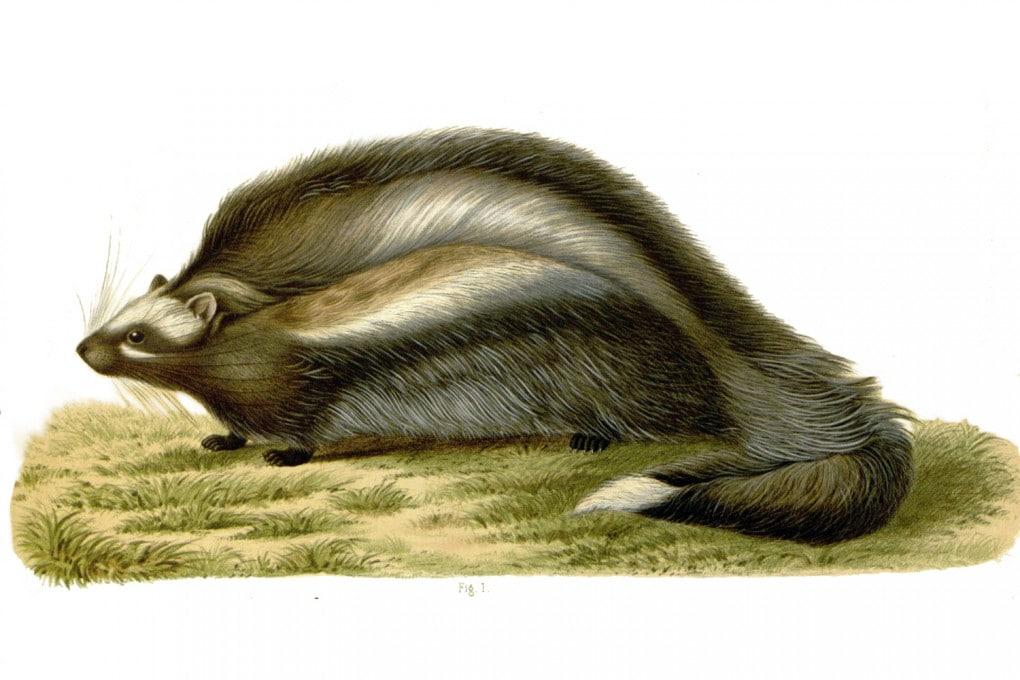 Illustrazione: il topo dalla criniera (Lophiomys imhausi).