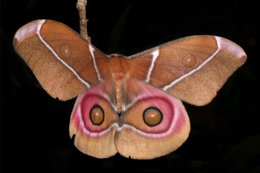 Una falena Antherina suraka, endemica del Madagascar e delle isole Mayotte.