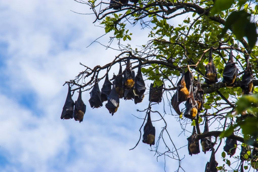 I pipistrelli (in foto, la specie Pteropus medius, portatrice del virus Nipah) sono spesso causa di nuove zoonosi