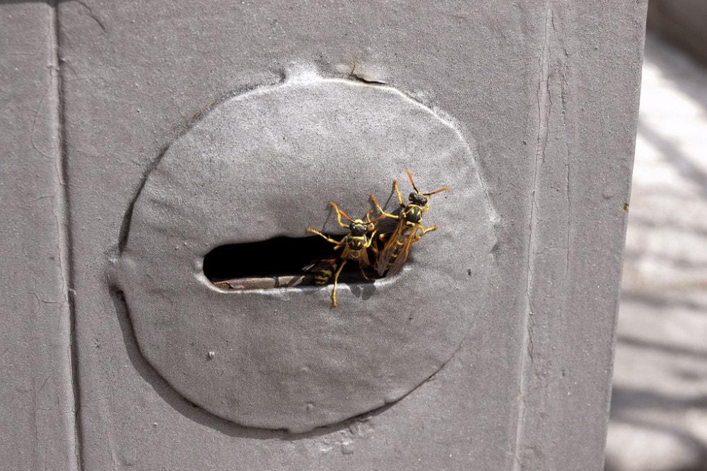 Nido di vespe in una serratura.