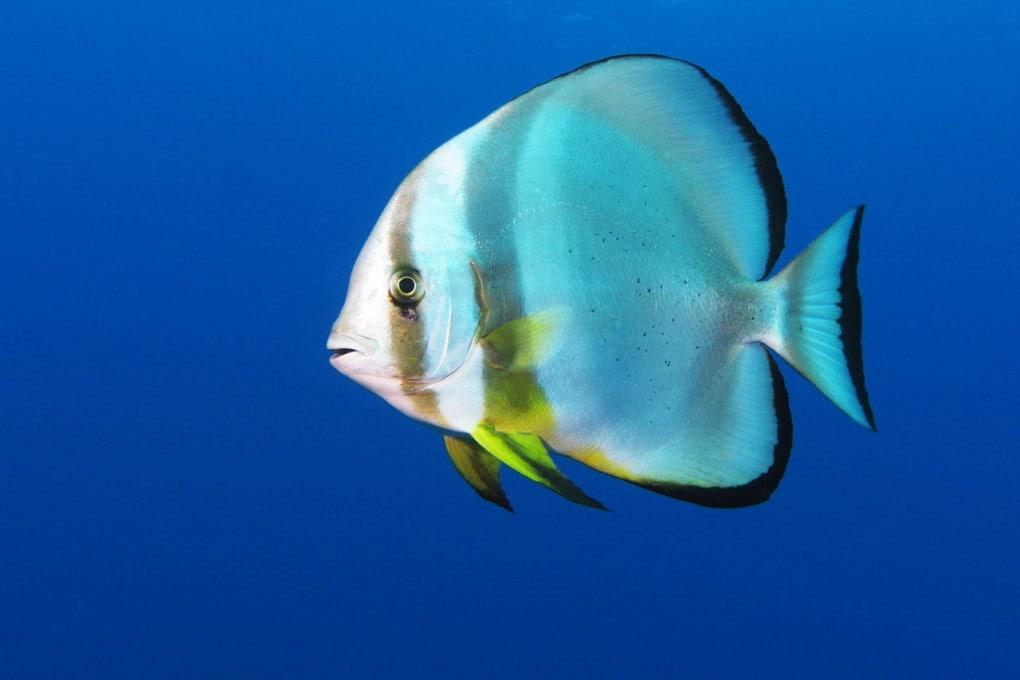 """Il canto del pesce pipistrello (Platax orbicularis) è un richiamo ritmico simile a un """"ba-ba-ba"""