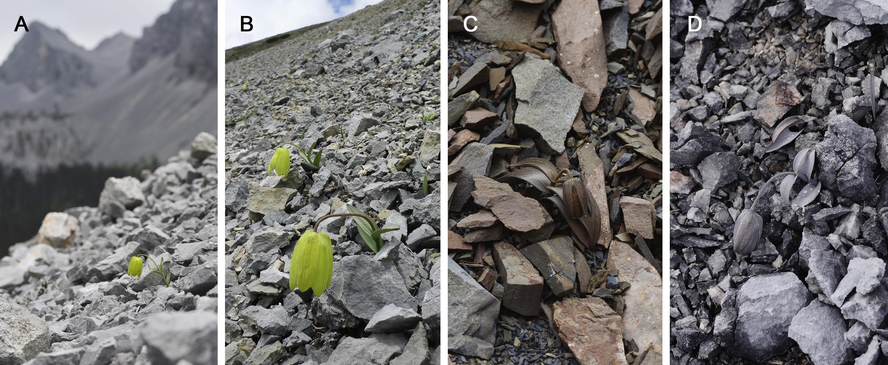 Piante di Fritillaria delavayi che si sono evolute per mimetizzarsi