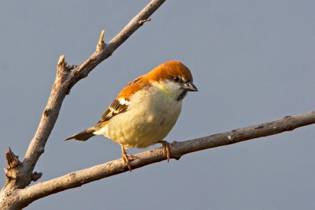 Un passero cannella (Passer cinnamomeus).