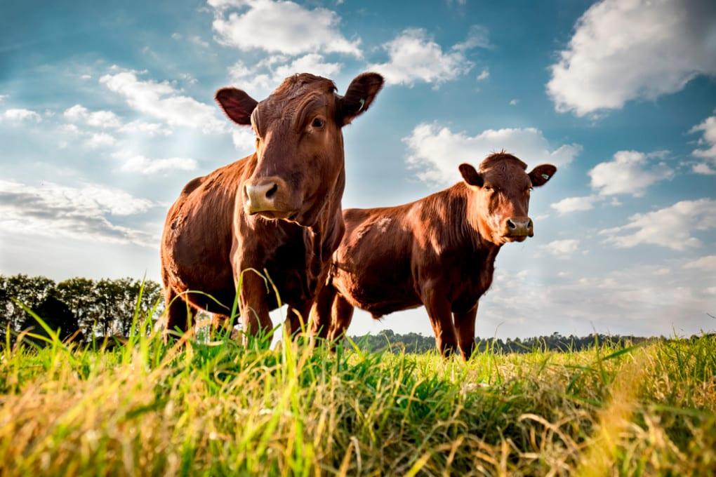 I bovini sono stati i primi animali a essere addomesticati.