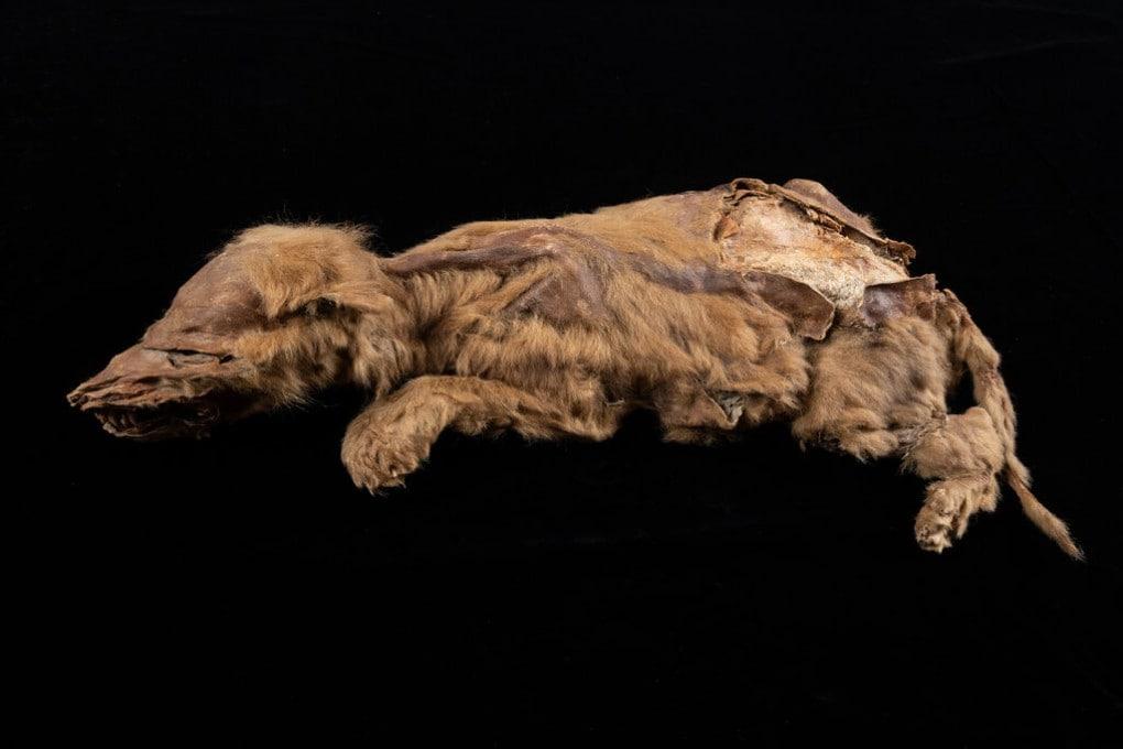 Zhur, il fossile di lupo artico meglio conservato di sempre.