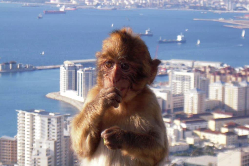 Un macaco di Gibilterra (Macaca sylvanus).