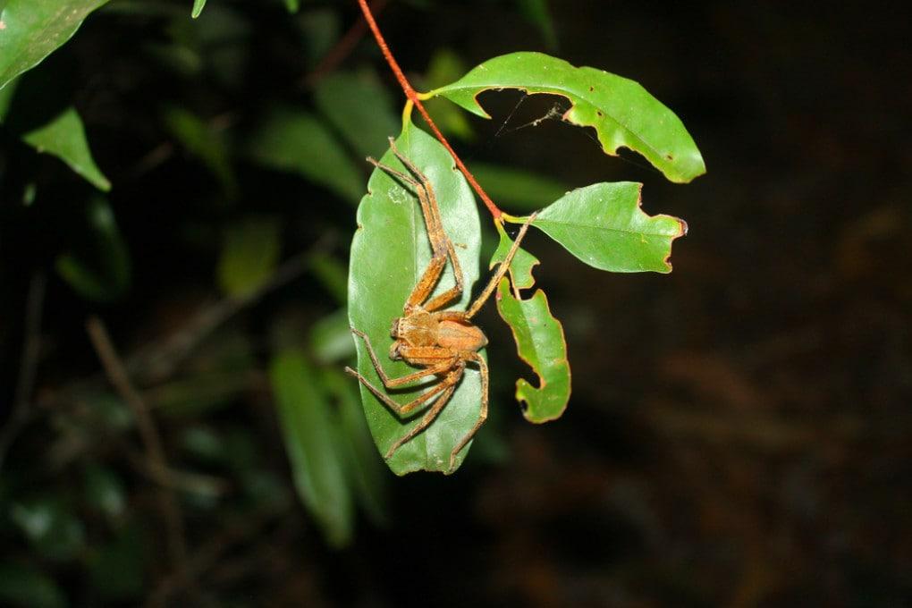 Madagascar: un ragno cacciatore del genere Damastes lavora alla sua trappola di foglie.