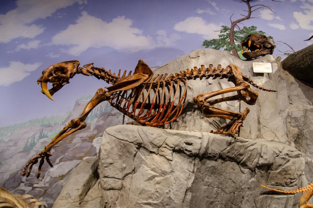 Un fossile di Smilodon al Museum of Ancient Life, nello Utah (USA).
