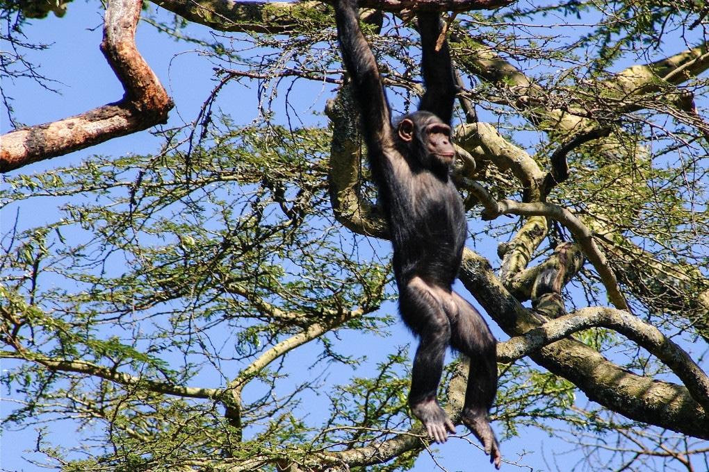 Scimpanzé
