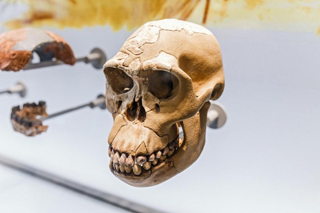 Un cranio di Neanderthal al Museo di Storia Naturale di Vienna.