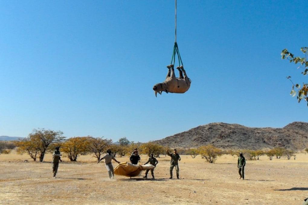 Un rinoceronte trasportato in elicottero in Namibia