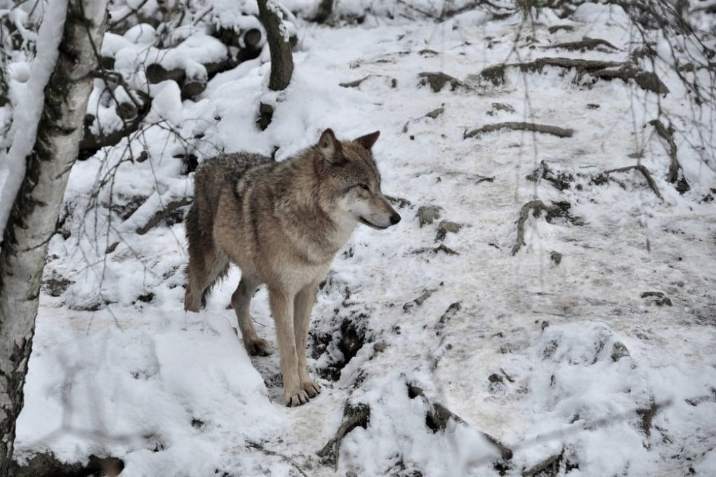 Un lupo in Mongolia.