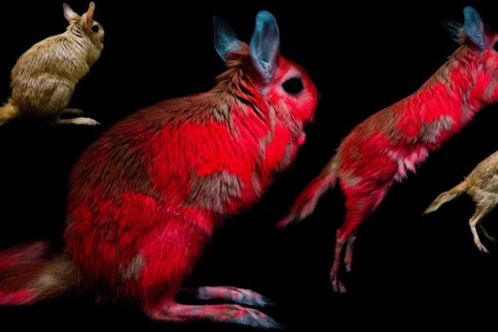 Lepri saltatrici sotto luce UV.