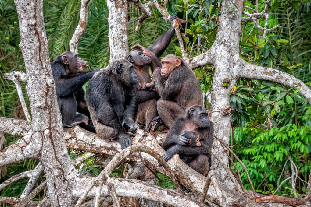 Un gruppo di scimpanzé (Pan troglodytes).