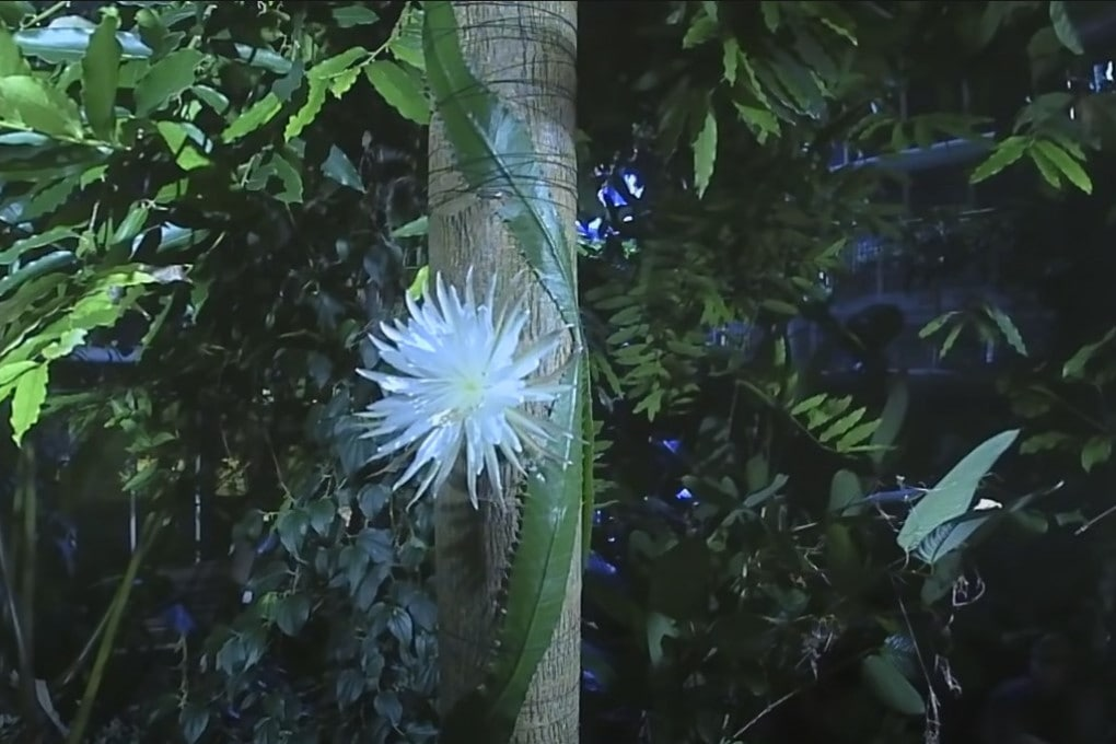 Il fiore dello Strophocactus wittii.