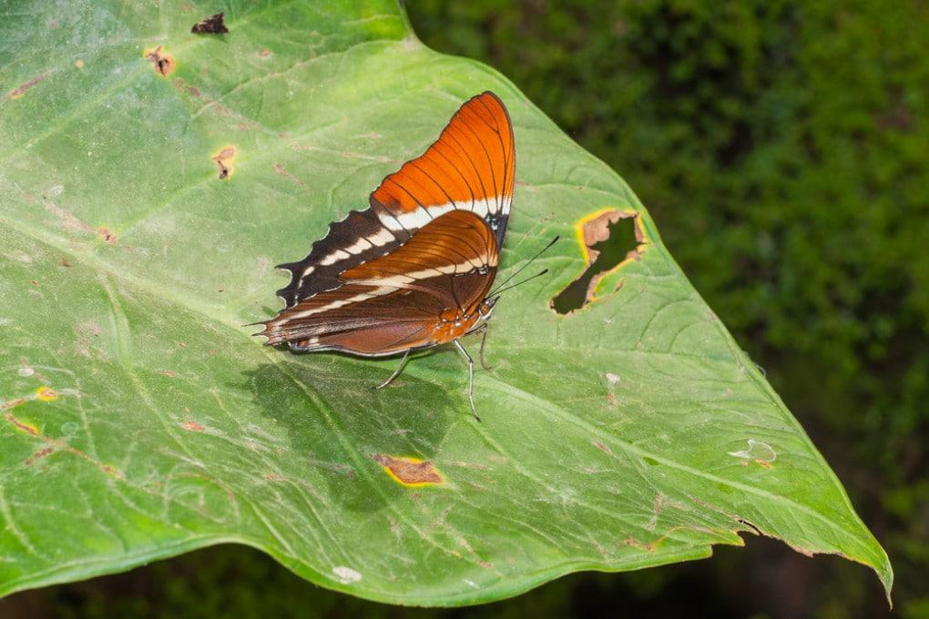 Una farfalla del genere Adelpha.