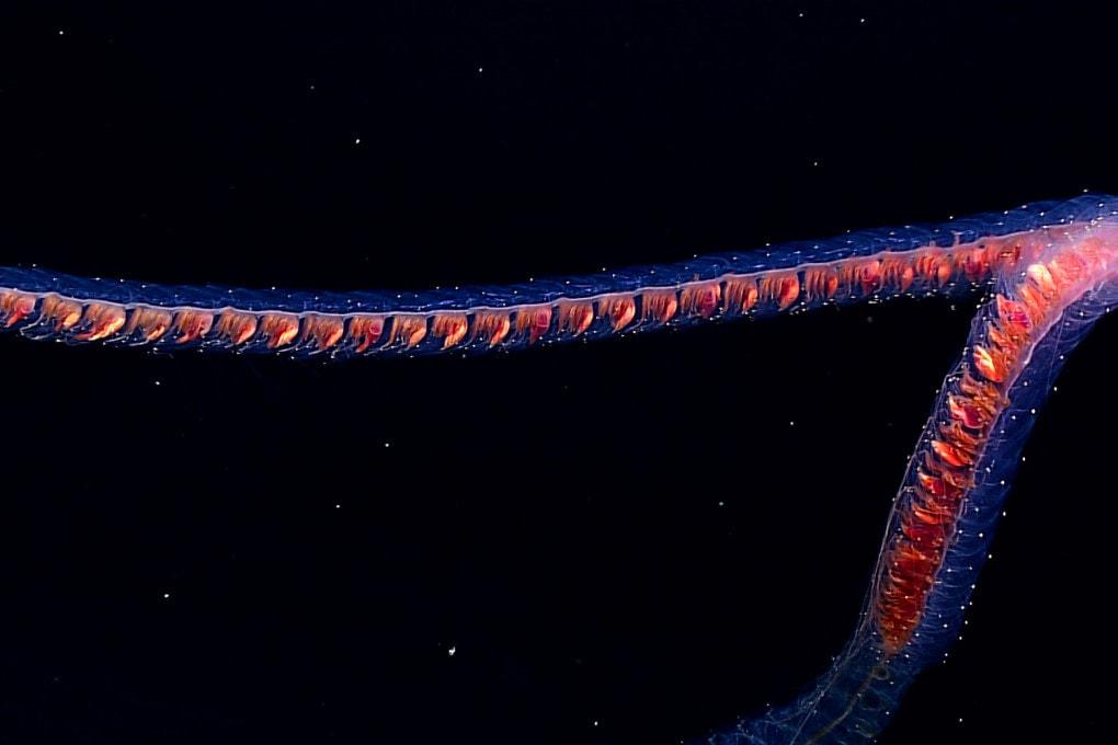 Un sifonoforo fotografato in prossimità del fondale oceanico nell'area inesplorata del Papahānaumokuākea