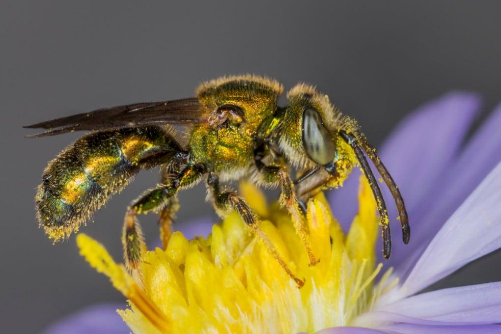 Il cervello di alcune api ha un'altissima densità di neuroni