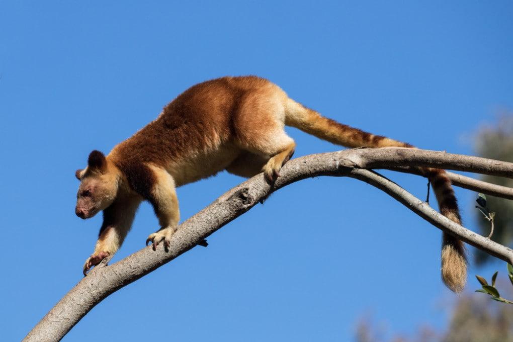 A differenza dei moderni canguri arboricoli (in foto), i C. kitcheneri erano più pesanti e meno agili.