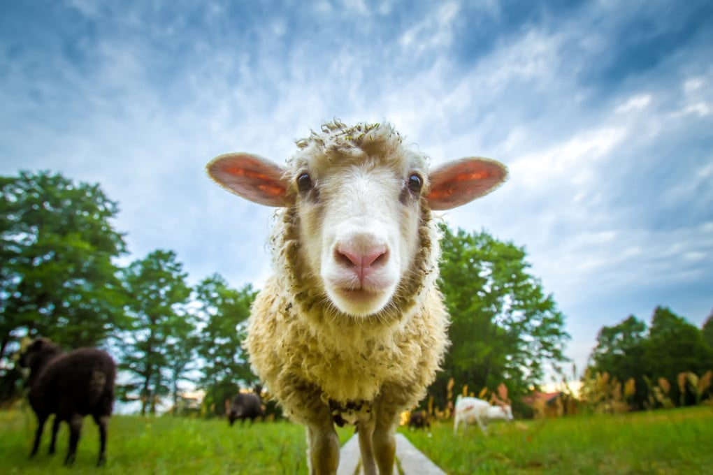 La pelle di pecora è composta di grasso per il 30-50%.