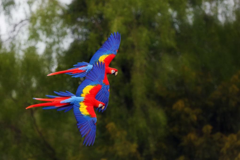 L'antico traffico di pappagalli esotici nel Deserto dell'Atacama