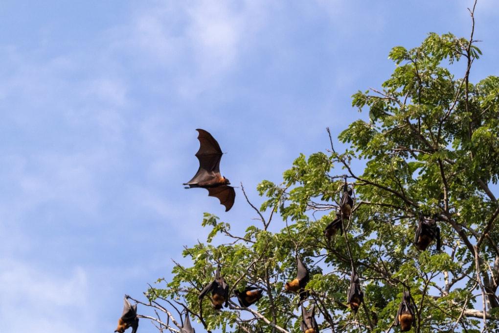 Volpi volanti in una foresta vicina a insediamenti umani.