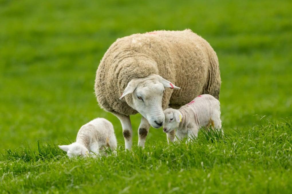 Pecora con agnellini