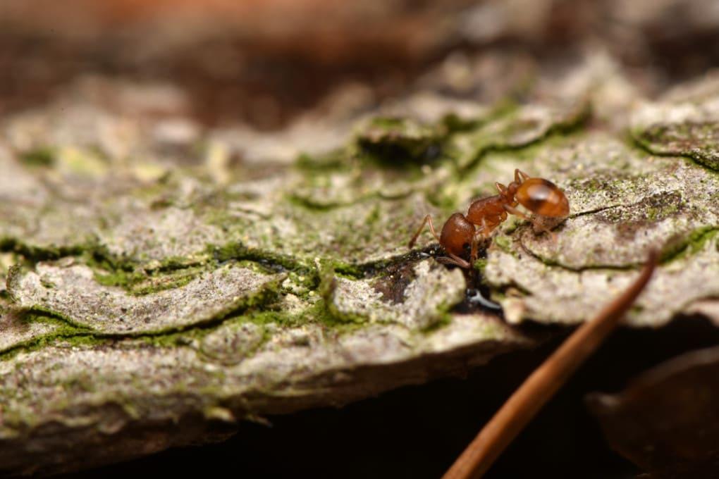 Una formica della specie Temnothorax nylanderi.