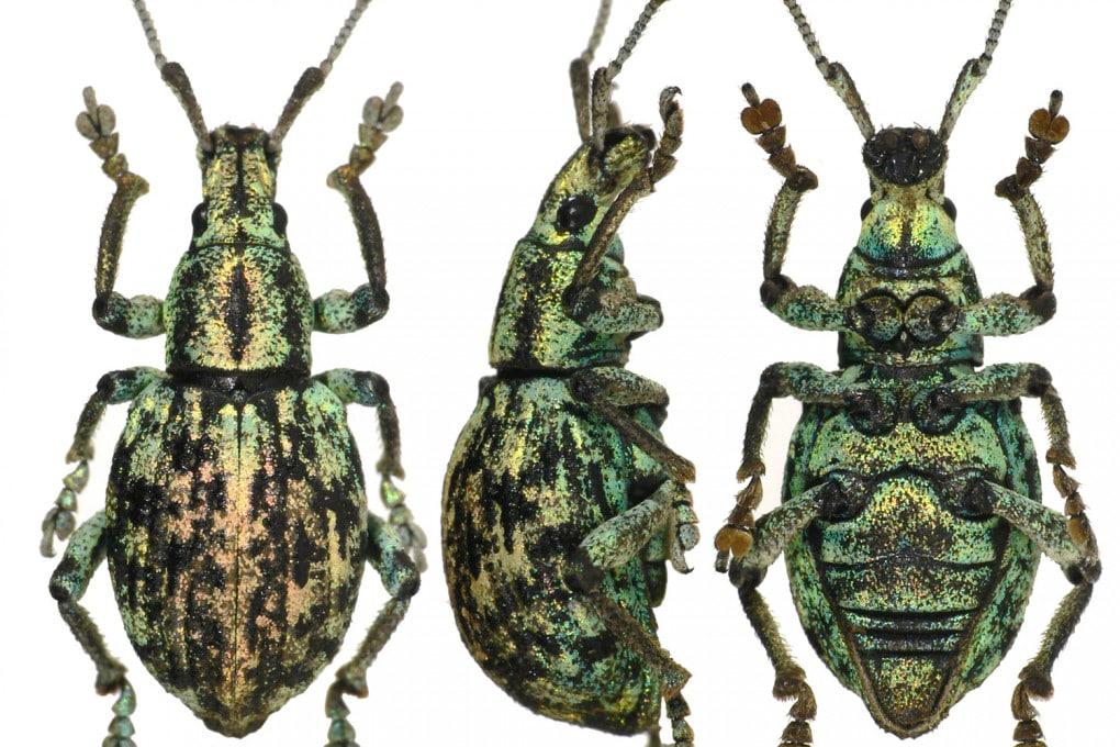 Evrostopolycatus palawanensis, il nuovo genere di coleottero curculionide scoperto sull'isola di Palawan (Filippine).