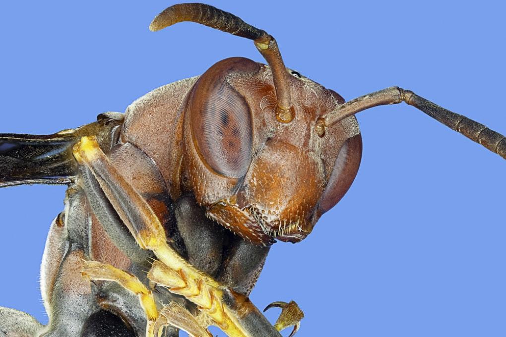 Faccia di vespa
