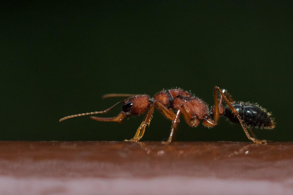 Una formica saltatrice indiana (Harpegnathos saltator).