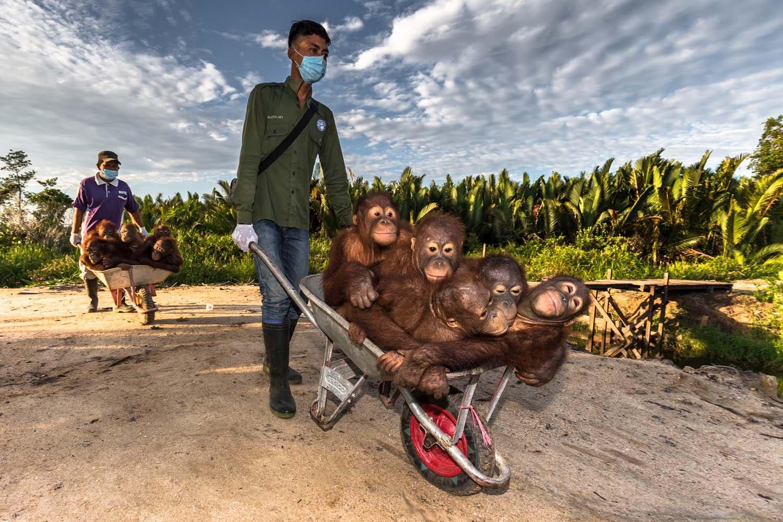Cubs orangutan Bornean (Pongo pygmaeus)
