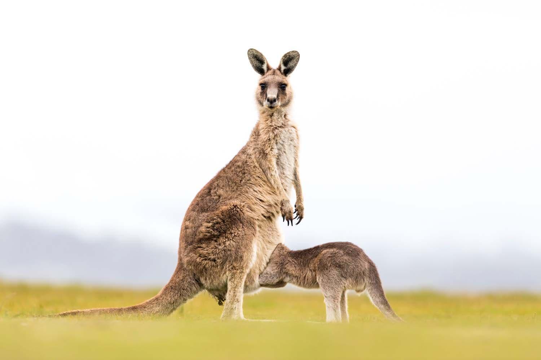 Kurioziteti i një kanguri të vogël